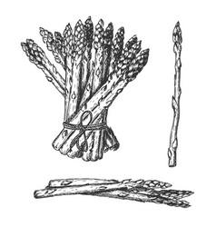 Single bundle pile few asparagus vector