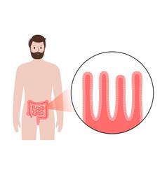 Small intestine anatomy vector