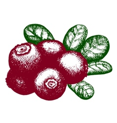 sketch of lingonberry vector image