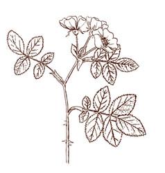 Rosa tomentosa vector