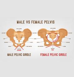 female male pelvis vector image