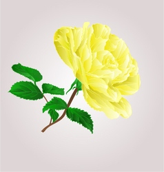 Yellow rose stem with leaves and blossoms i vector