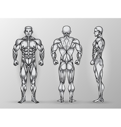 Anatomy of male muscular system exercise vector