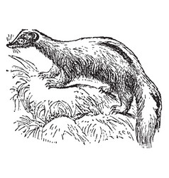 Common skunk vintage vector