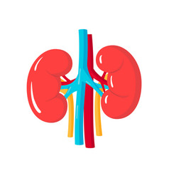 Healthy kidneys vector