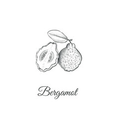 bergamot sketch hand drawing vector image vector image