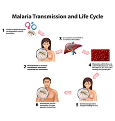 Malaria Transmission and life cycle vector image vector image