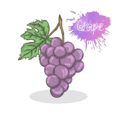 Purple grape vector image