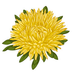 Beautiful yellow aster isolated on white vector