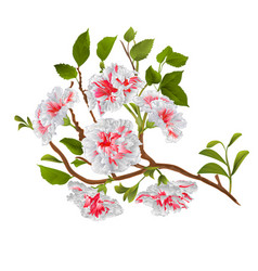 branch white hibiscus tropical flowers on a vector image