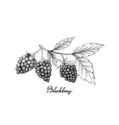 hand drawn of fresh blackberries on white backgrou vector image