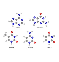 structures purine and pyrimidine bases vector image