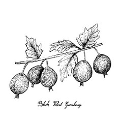 Hand drawn of black velvet gooseberry on white bac vector