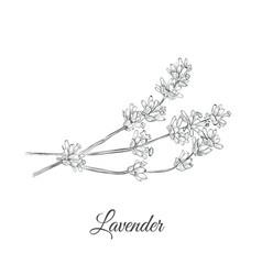 lavender sketch vector image