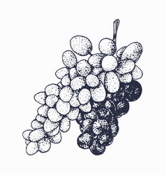 grapevine sketch isolated on white background vector image