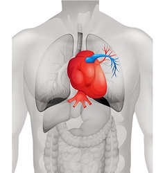 Human heart diagram in detail vector image