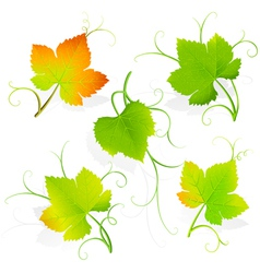 Grape leaves vector image