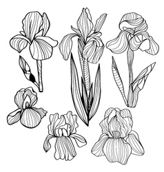 Blooming and budding iris flowers black and white vector image