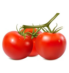 Ripe tomatoes branch with water drops vector