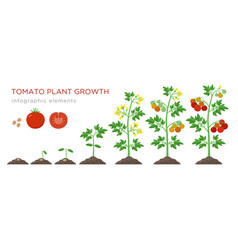Tomato plant growth stages infographic elements in vector