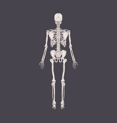 back view human skeleton with bones ribs vector image