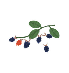 Bunch blackberries hanging on twig with leaves vector