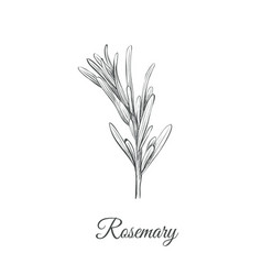 rosemary sketch hand drawing rosemary vector image