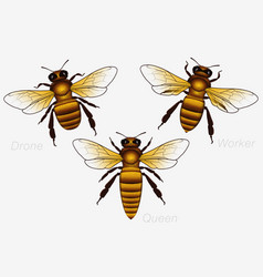 set of three honey bees queen and worker and vector image vector image