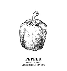 pepper drawing isolated on white background vector image