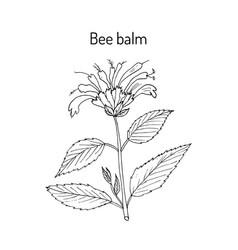 wild bergamot or bee balm vector image