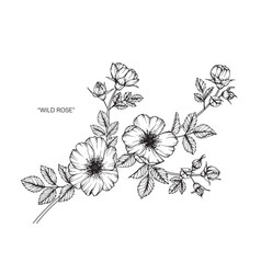Wild rose flower drawing vector