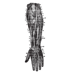 Dissection of forearm vintage vector