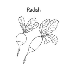Radishes with leaves vector
