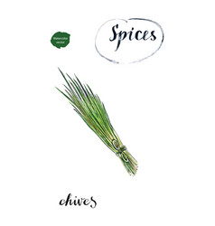 watercolor young green fresh chives bunch vector image