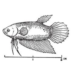 Fighting fish vintage vector