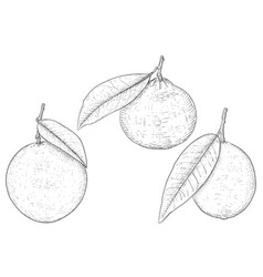 orange lemon and mandarin hand drawn sketch vector image