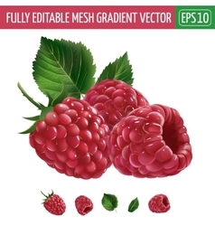 Raspberries on white background vector