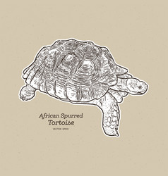 African spurred tortoise is largest vector