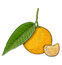 mandarin orange with segment hand drawn colored vector image