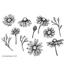set hand drawn black and white chamomile vector image
