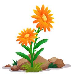 Orange gerbera daisy flowers on white background vector
