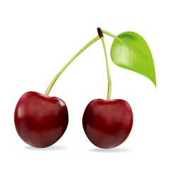 Sweet cherry isolated on white vector