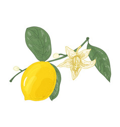 botanical drawing of lemon tree branch with vector image