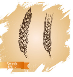 hand drawn cereal crops sketches farm vector image
