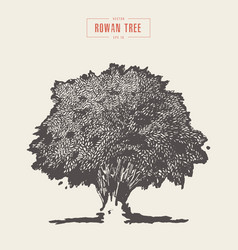 high detail vintage rowan tree hand drawn vector image