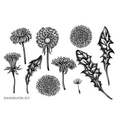 set hand drawn black and white dandelion vector image