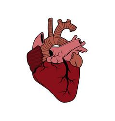 human heart - anatomy biology healthy image vector image