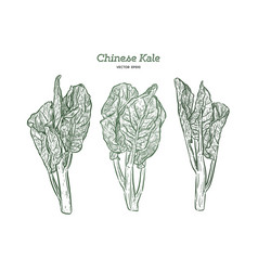 chenese kale or chinese broccoli hand draw sketch vector image