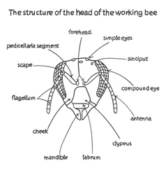 The structure of the head of the working bee vector