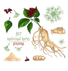 Realistic botanical color sketch of ginseng root vector